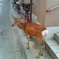 町中にも鹿